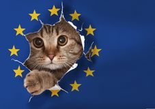 British cat looking through hole in EU paper flag. British cat looking through hole in paper European Union flag royalty free stock images