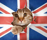 British cat looking through hole in paper flag. British cat looking up through hole in paper Great Britain flag royalty free stock image