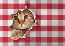 British cat looking through hole in paper picnic tablecloth. British cat looking up through hole in paper picnic tablecloth Royalty Free Stock Image
