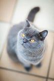 British cat looking up Stock Photos