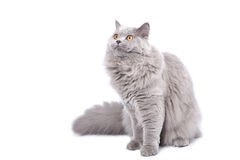 British cat looking up isolated Royalty Free Stock Image