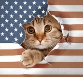 British cat looking up through hole in paper USA flag. British cat looking up through paper USA flag royalty free stock photography