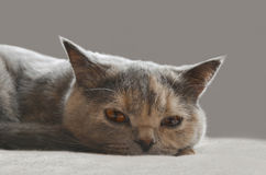 British cat. Looks into the eyes. British Shorthair cat breed Royalty Free Stock Photography