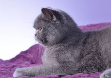 British cat. Royalty Free Stock Photo