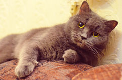 British cat lying on the couch Stock Photo