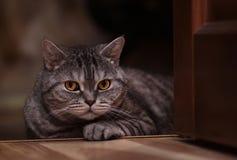British cat. Lying on the floor Royalty Free Stock Image