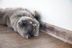 British cat lying on a floor Royalty Free Stock Photo
