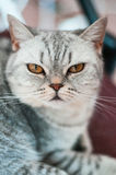 British cat lying. And looking into the camera Royalty Free Stock Photo