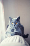 British cat lying near the window Royalty Free Stock Photos