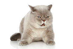 British cat lying on a white background Royalty Free Stock Images