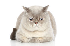 British cat lying on a white background Stock Images