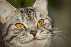 British cat muzzle closeup Royalty Free Stock Photo