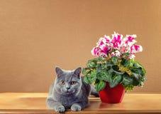 British  cat near a houseplant Royalty Free Stock Image