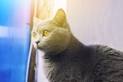 British cat with nice wool and big eyes Stock Photo
