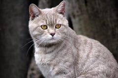 British Cat orange eyes stock images