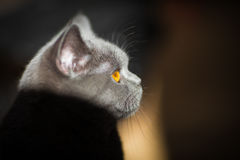 British cat. In partial shade Stock Photos