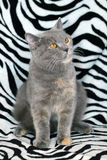 British cat. Pedigreed cat blue color sits on the background texture of a Zebra. Look. Animal closeup Stock Image
