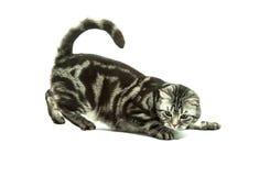 British cat playing Royalty Free Stock Photo