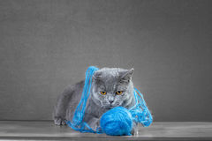 British cat  playing with  ball of yarn Royalty Free Stock Photography