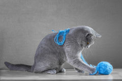 British cat  playing with  ball of yarn Stock Images
