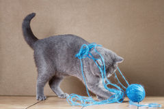 British  cat playing with ball of yarn. Stock Images
