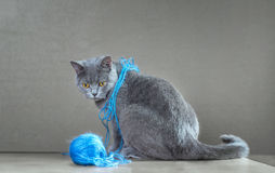 British  cat playing with ball of yarn. Stock Photos