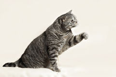 British cat. Playing in front of camera Stock Photo
