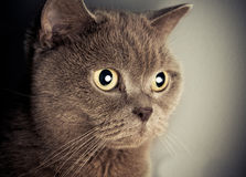 British cat portrait. Spotlight flash royalty free stock image