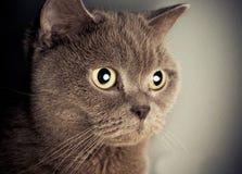 British cat portrait Royalty Free Stock Image