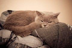 British cat portrait Royalty Free Stock Photo