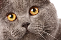 British cat portrait Stock Photography