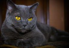 The British cat Stock Image