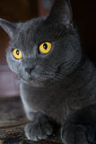 The British cat Royalty Free Stock Images