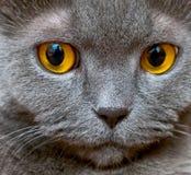 The British cat Stock Images