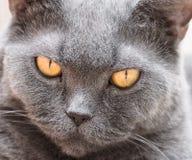 The British cat Royalty Free Stock Photo