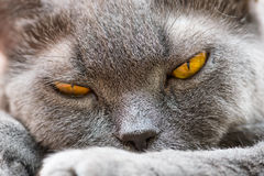 The British cat Royalty Free Stock Image