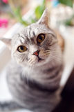 British cat Stock Images