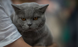 British cat. Portrait on the hands of the owner - blurred background Stock Photo