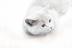 British cat portrait. Isolated lying british cat portrait Royalty Free Stock Photo