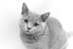 British cat portrait. Isolated sitting british cat portrait Stock Photo