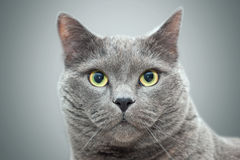 British cat portrait. Selective focus Stock Image