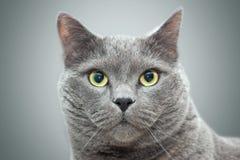 British cat portrait Stock Image