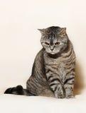 British cat. Posing for the camera Stock Image