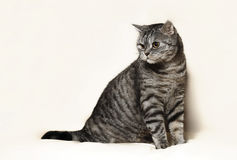 British cat. Posing for the camera Stock Photography