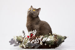 British cat posing with the words Merry Christmas on a white background Stock Photo
