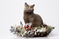 British cat posing with the words Merry Christmas on a white background Stock Photos