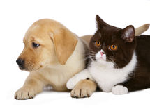 British cat and puppy labrador. Cat and pup on a white background Royalty Free Stock Photography