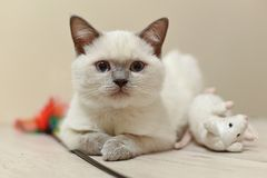 British cat - color blue point. British cat - rare color blue point Royalty Free Stock Photo