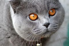 British cat in a red collar. British shorthair - shorthair cats. As a rule, they are strong and strong cats. There are medium to large sizes. According to legend royalty free stock photos