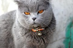 British cat in a red collar stock images